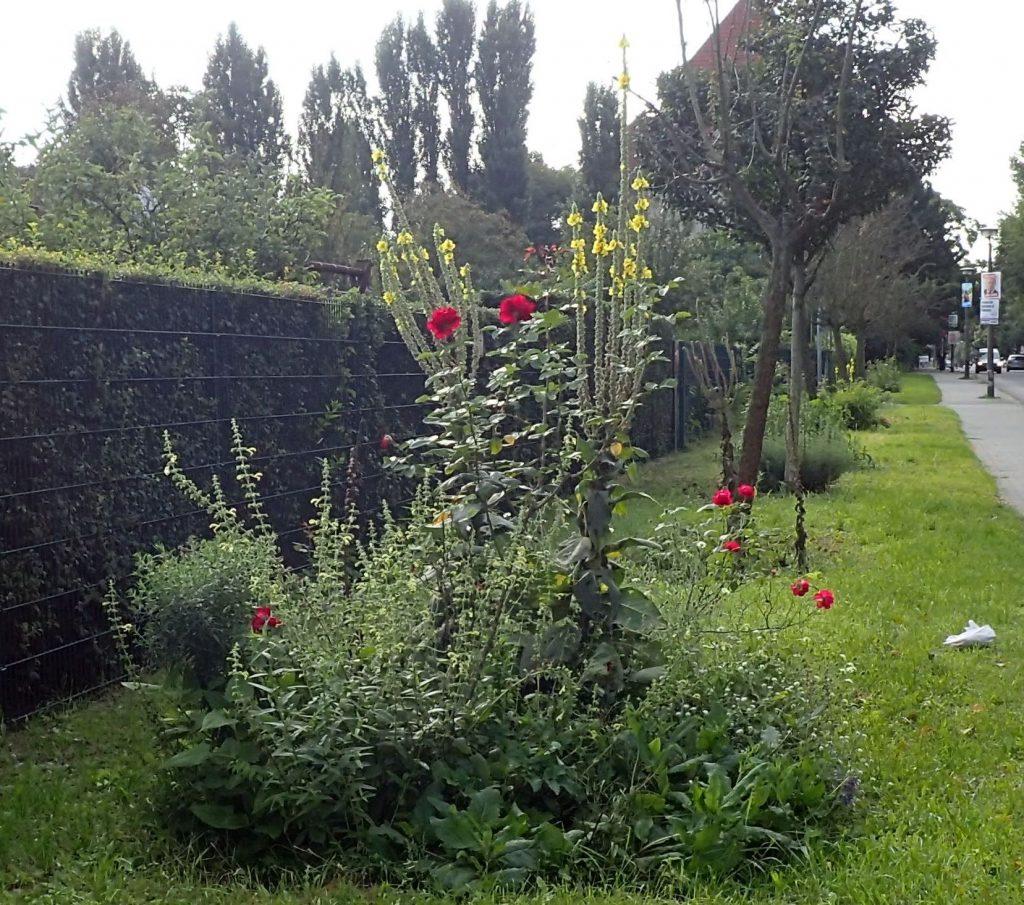 Dieselbe Stelle Ende August – neben den Rosen und der Graukresse, die sich selbst ausgesät hat, blüht auch der gelbe Salbei.