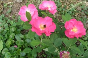 Marguerite Hilling, eine naturnahe Strauchrose