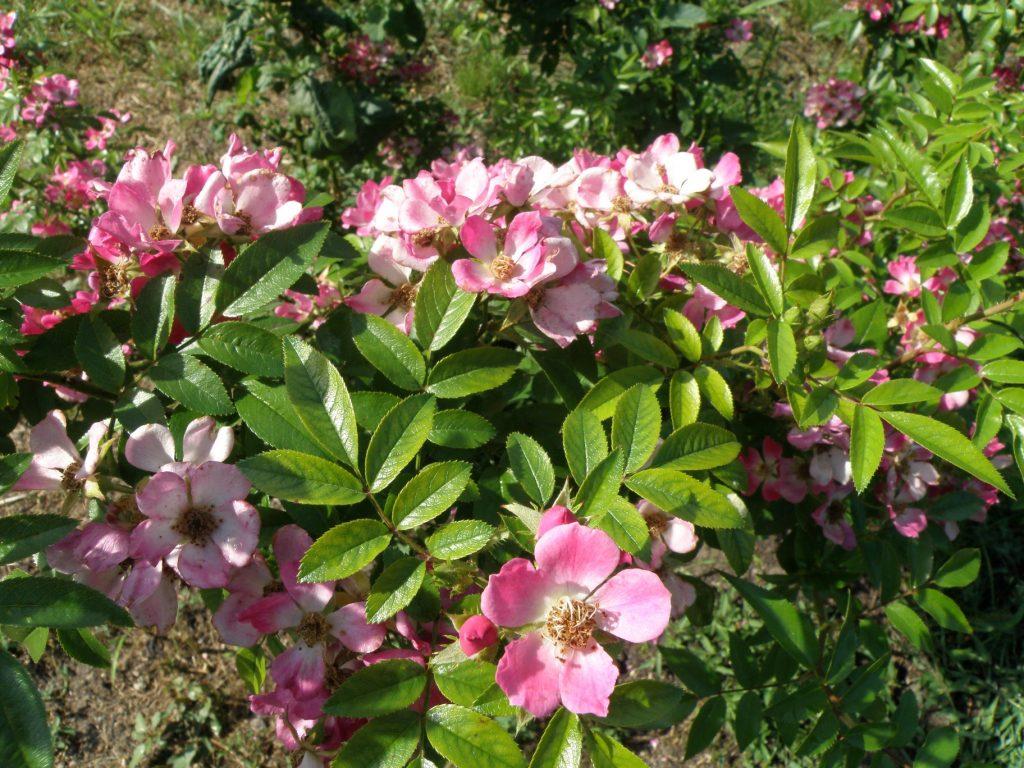 Linné-Rose aus Saxdorf
