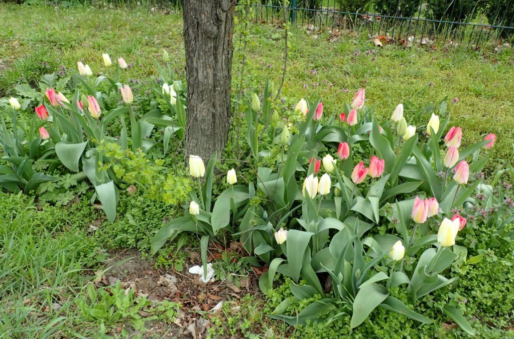 In den Baumscheiben blühten Tulpen...