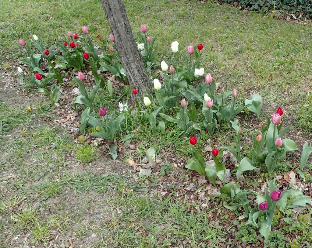Und auch die Blüte im nächsten Frühling konnte sich sehen lassen