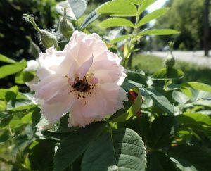 Die Rose Fimbriata, eine öfter blühende Kartoffelrose, hier mit Pinselkäfer