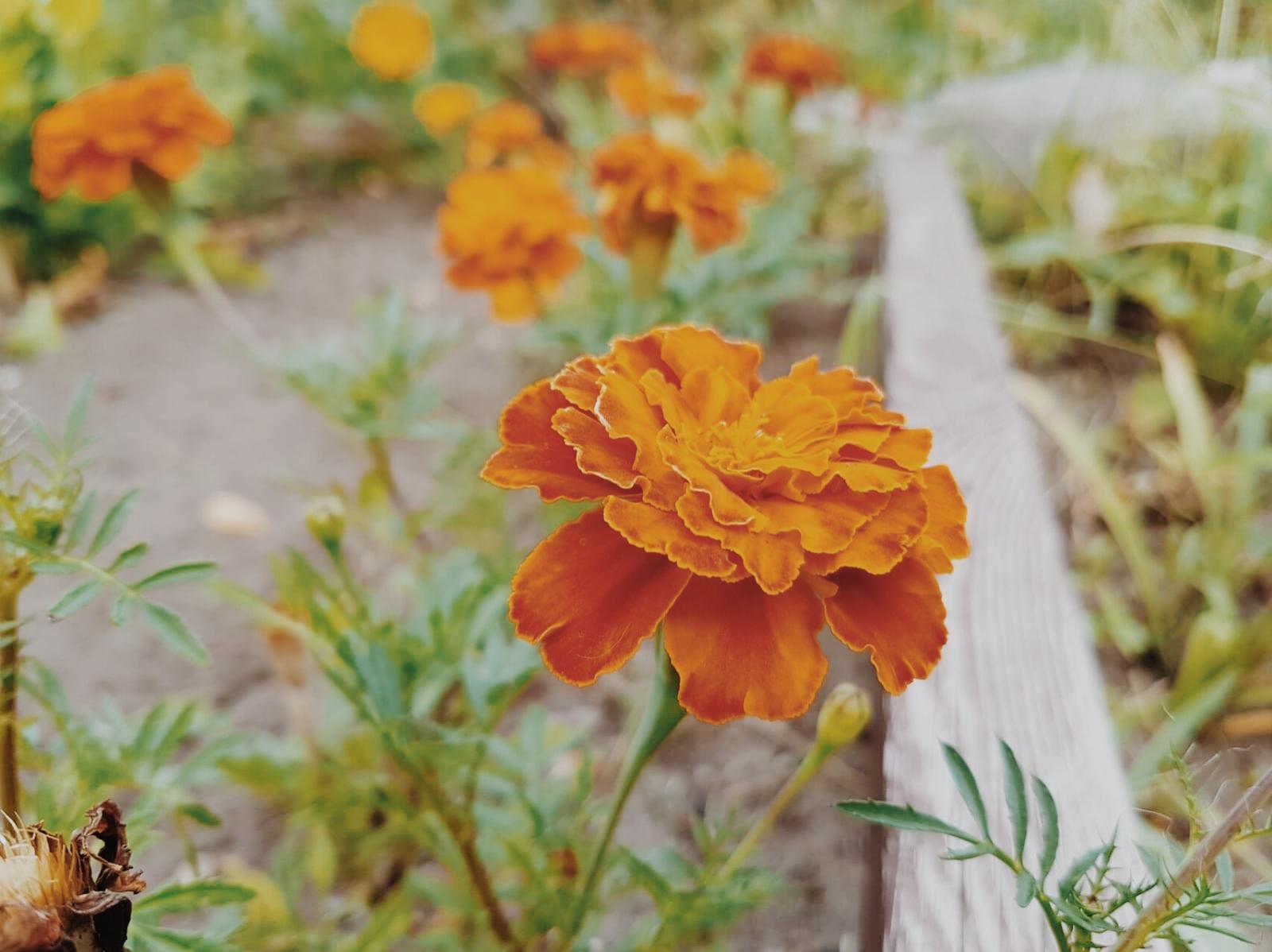 Gartenkolonie zur Linde Berlin Studentenblume